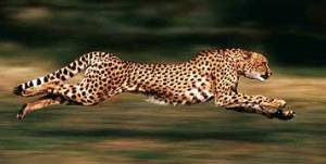 cheeta_running